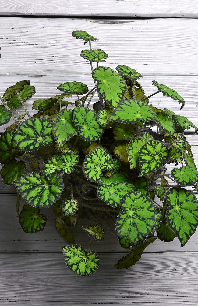 Shrub-like metallica luxurians are another popular begonia variety