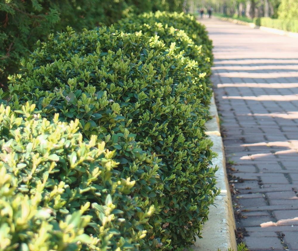 Shrubbery lining road with proper spacing based on its particular variety type