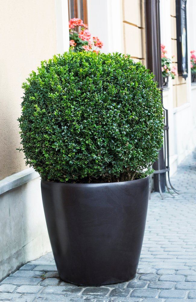 A boxwood is in a black pot on a cobblestone road next to a store.