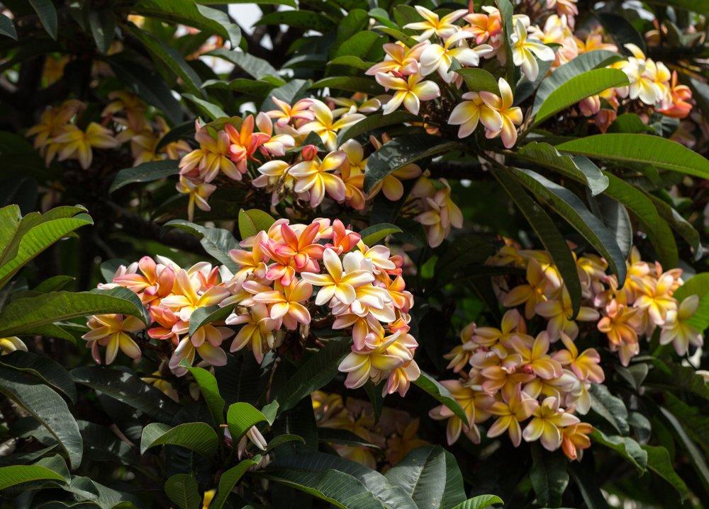 A plumeria rubra tree with bountiful pink, white and yellow plumeria flowers