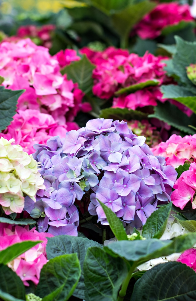 Purple, yellow, and pink hydrangeas that have received proper nutrients.