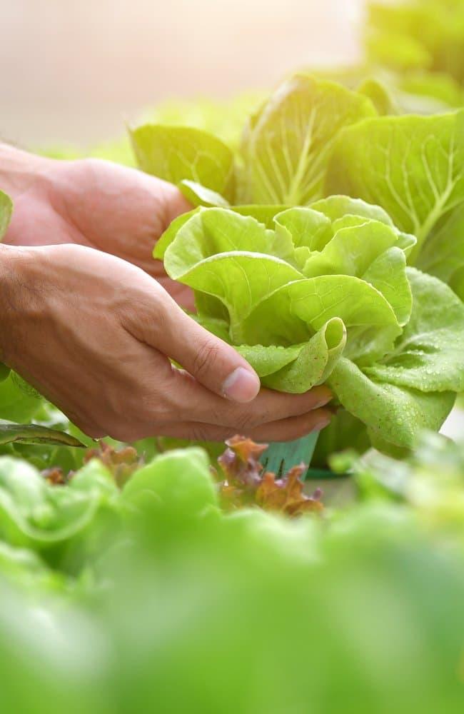 Someone harvesting fresh lettuce.