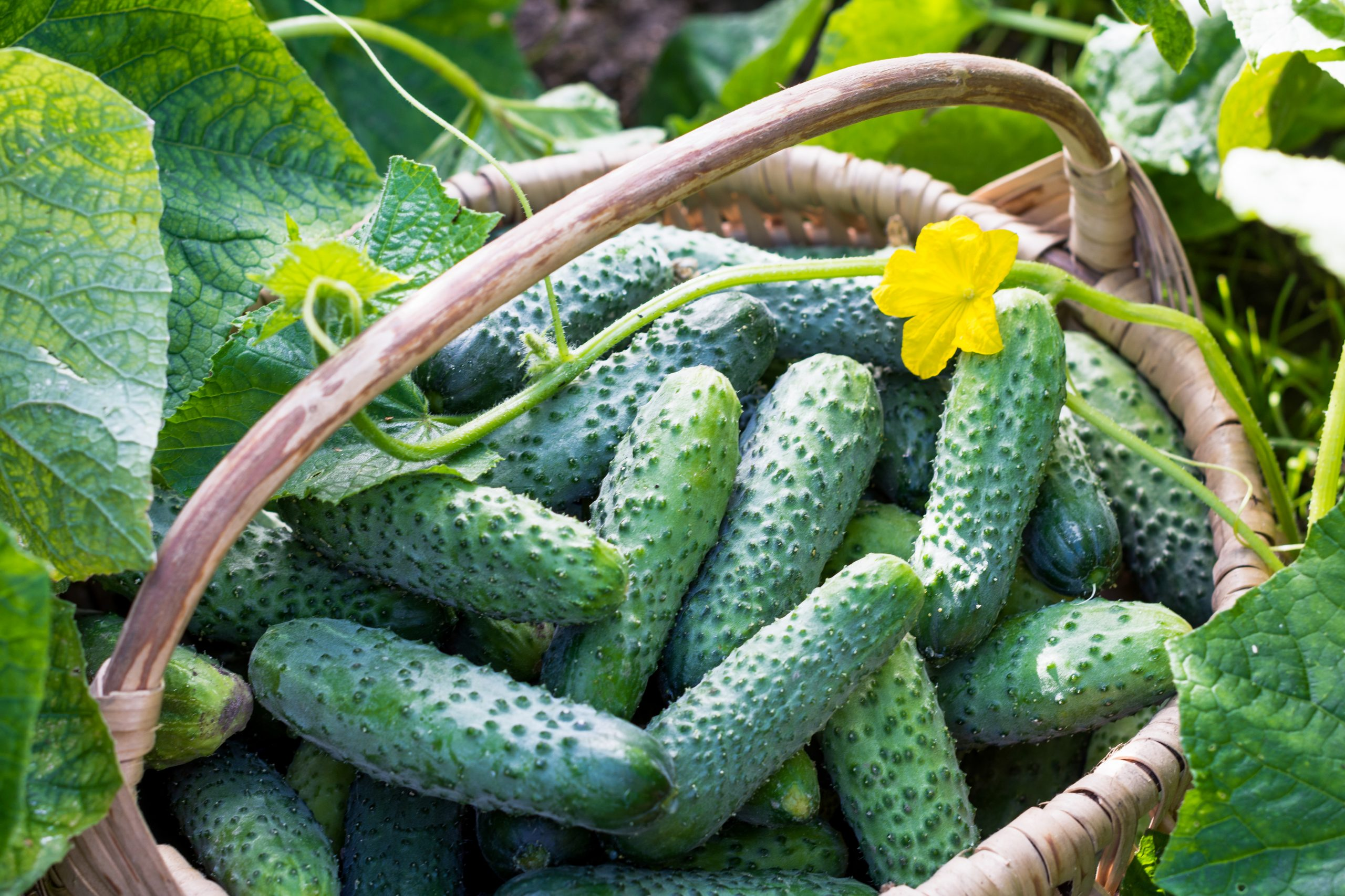 15 of the Most Popular Types of Cucumbers to Grow
