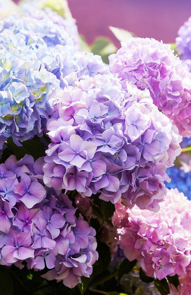Beautiful pink, purple, and blue hydrangeas