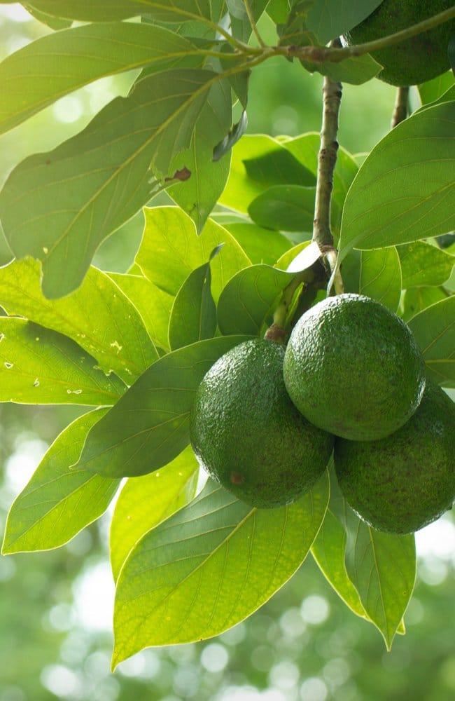 Best fertilizer for avocado trees