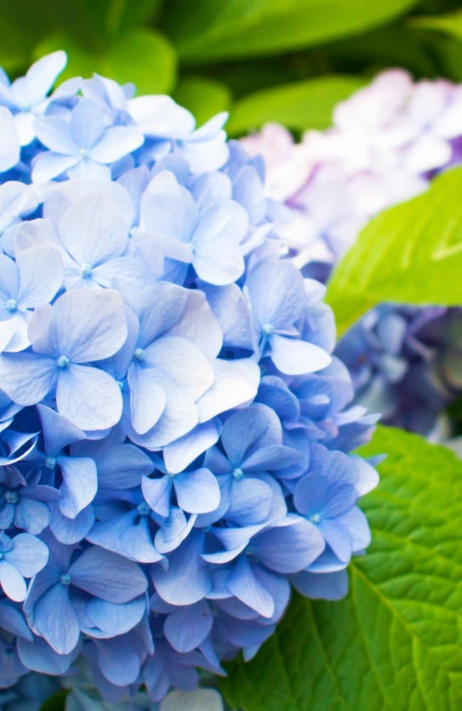 Best fertilizers will produce full looking and beautiful blue hydrangeas as seen here. In the background are purple hydrangeas