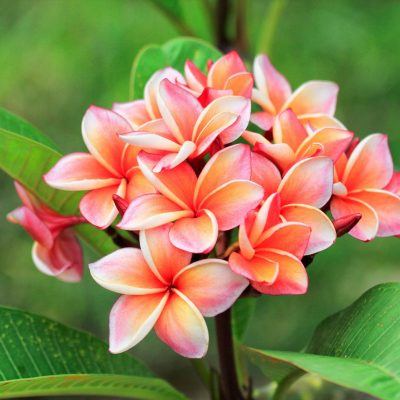 How to Get Plumerias to Bloom