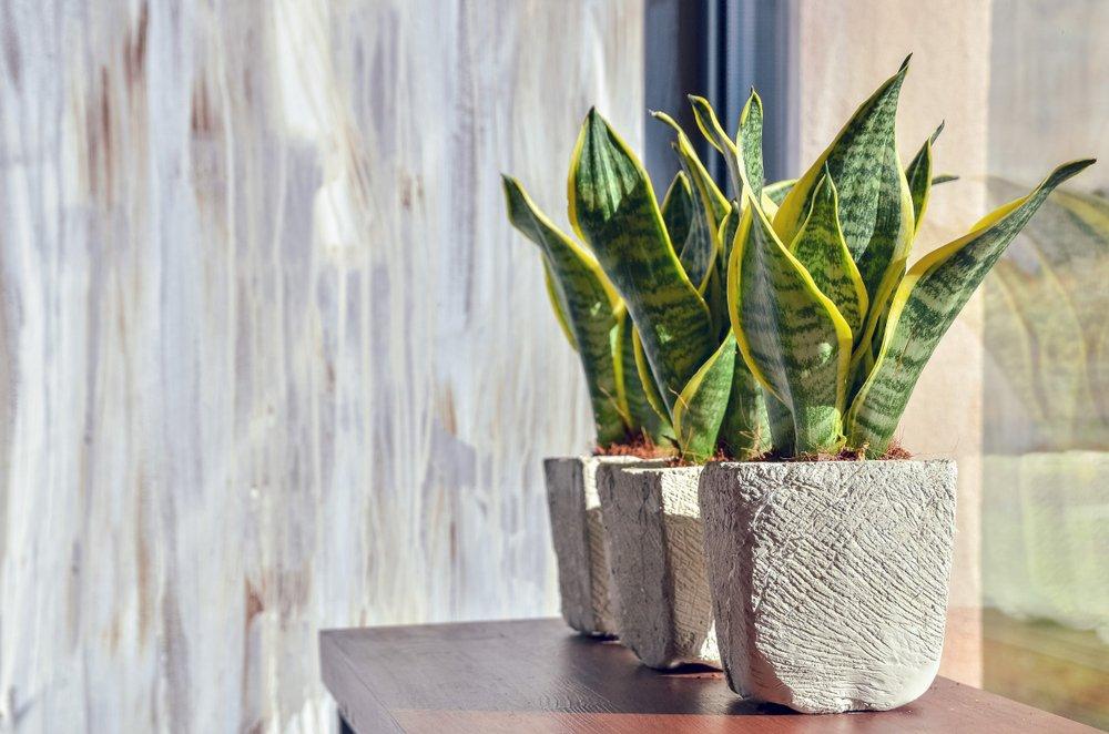 Laurentii plant growing near a windowsill