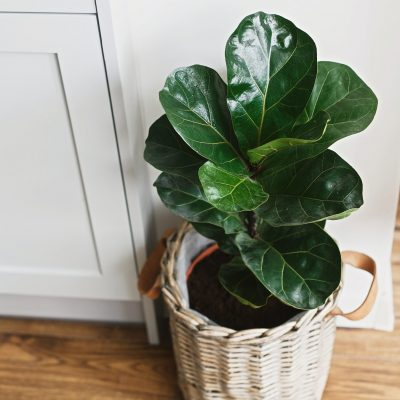 7 Fiddle Leaf Fig Interior Design Ideas