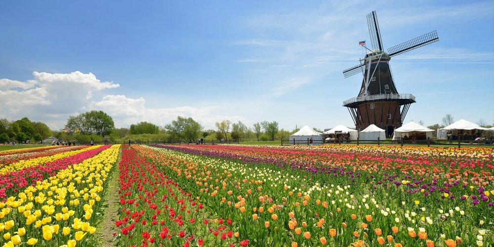 Beautiful rows of different colored tulips in front of a windmill in holland, michigan