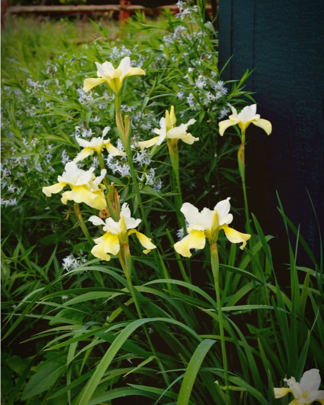 A white butter sugar siberian iris plant is one of the many types