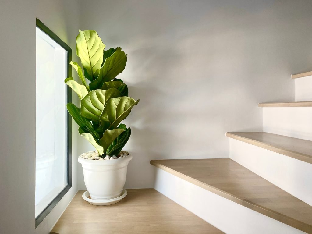 Fiddle leaf fig tree in a white pot sitting in between the landing of a staircase in front of a window