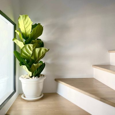 What is A Fiddle Leaf Fig Tree