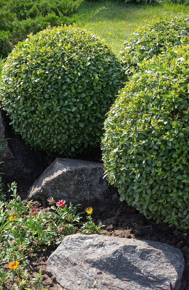Three boxwood next to some rocks in a yard