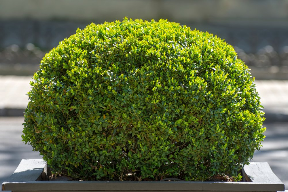 Shaped bush that is clearly well cared for with proper sun