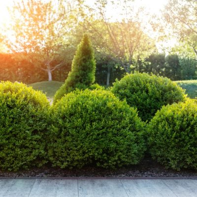 15 of the Most Popular Types of Boxwood