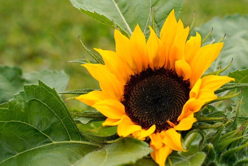 A yellow sunflower sits in focus with its green leaves in the background