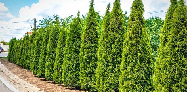 How to Plant Arborvitae
