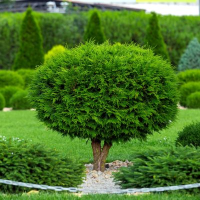 7 Common Mistakes People Make When Trimming Arborvitae