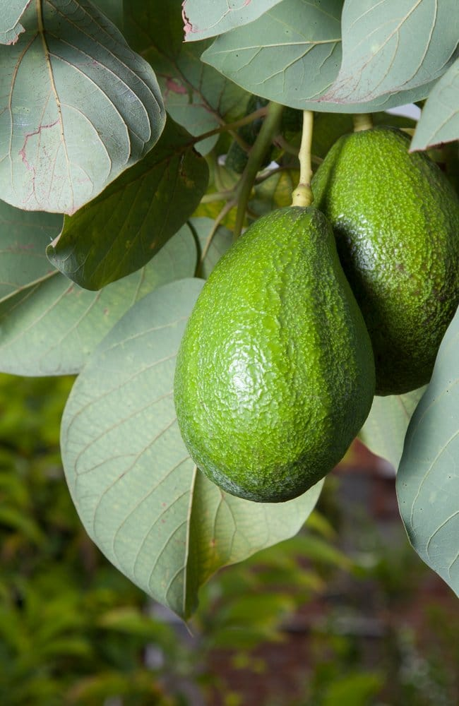 Best plant food for avocado to act as a fertilizer. The picture contains two healthy looking avocados.