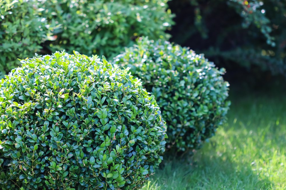 Three boxwood bushes that are neatly shaped into circles.