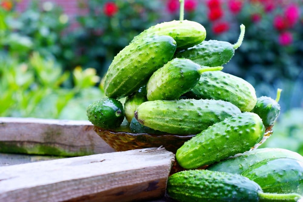 A warty, small cucumber that is great for pickling