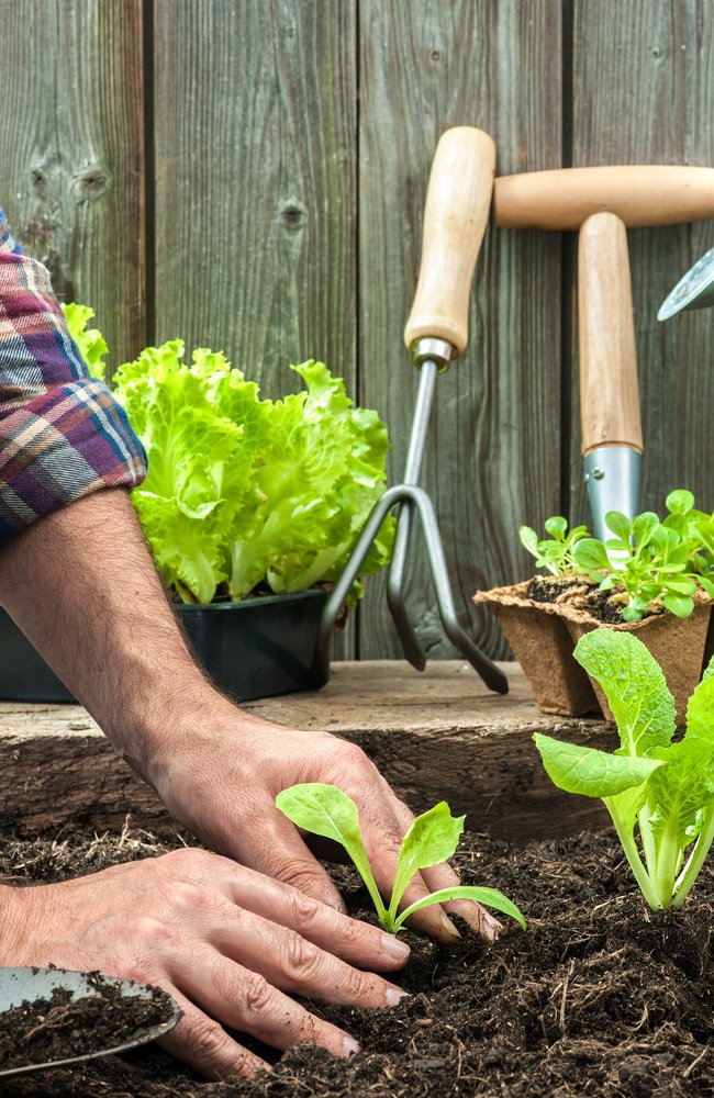 A man planting a young lettuce and surrounding it with soil