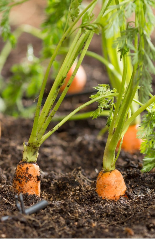 Carrots with their shoulders showing symbolizing that they are ready for harvest