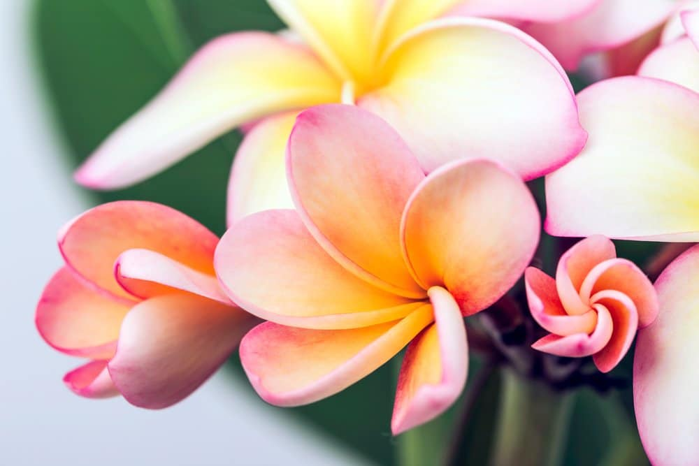 A close up of pink and orange plumeria flowers that are blooming in a spiral pattern