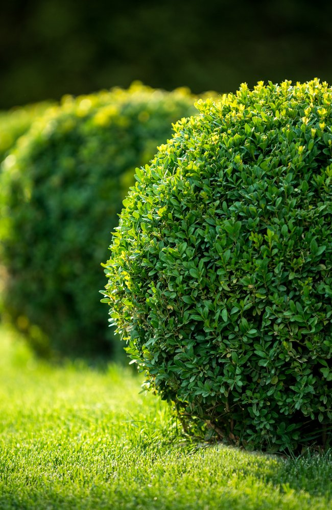 round boxwood that looks healthy with proper water and sun