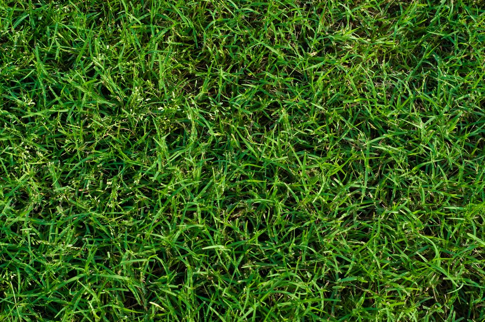 A lawn that is composed entirely of bermuda grass, which is a warm-season grass.