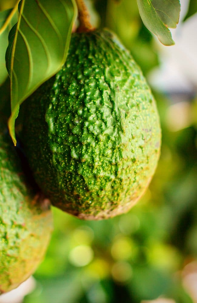Close-up of a very healthy-looking avocado fruit from a hass avocado tree