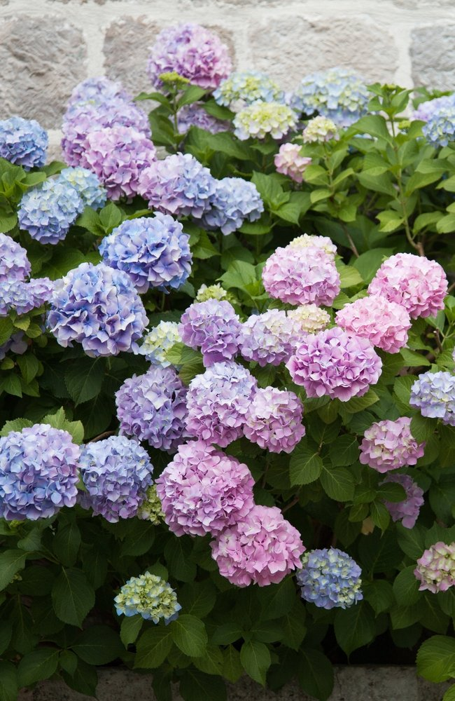 Hydrangeas that are purple and blue in front of a cement wall