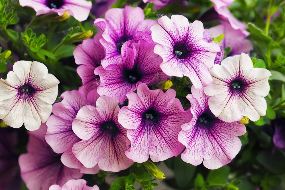 10 pinkish-purple petunias are in bloom