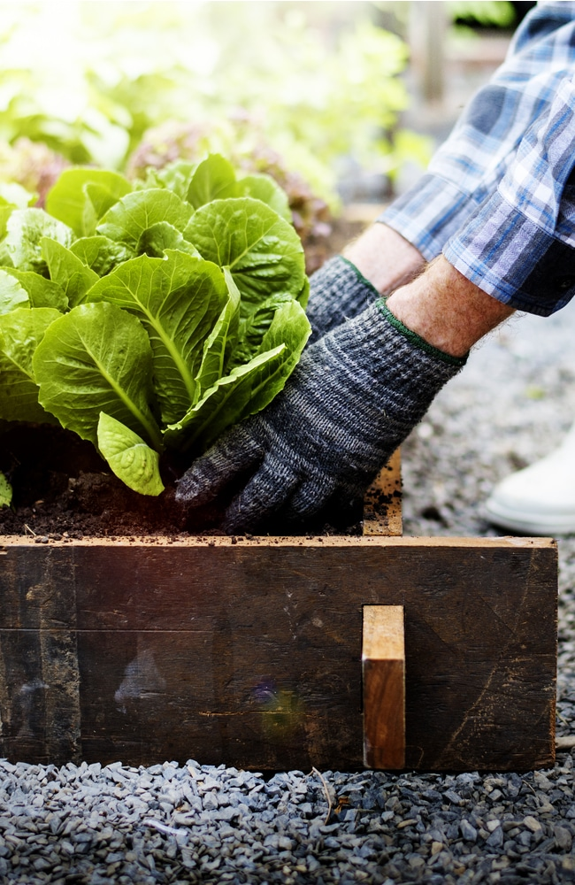 A man in boots reaching down with gloves on grabbing hold of a lettuce that is ready to be ahrvested from a raised bed.
