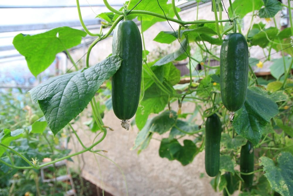 A couple cucumbers hagning from vines