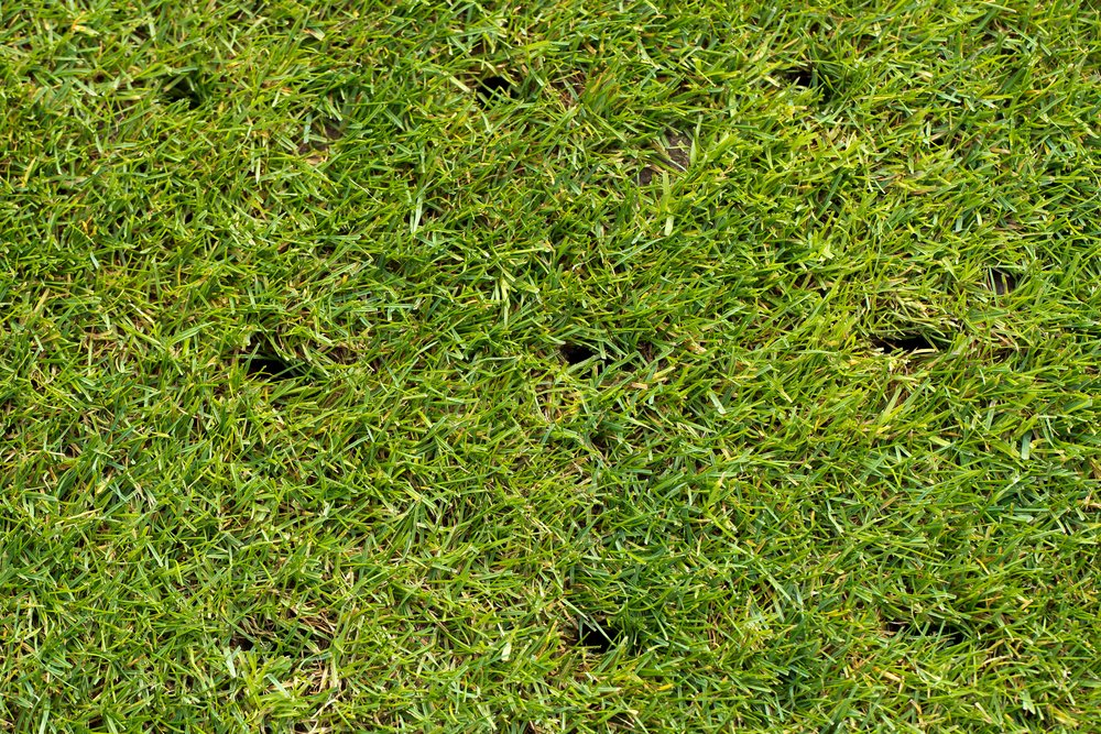 A lawn with holes from aeration (core aerator that removed the soil)
