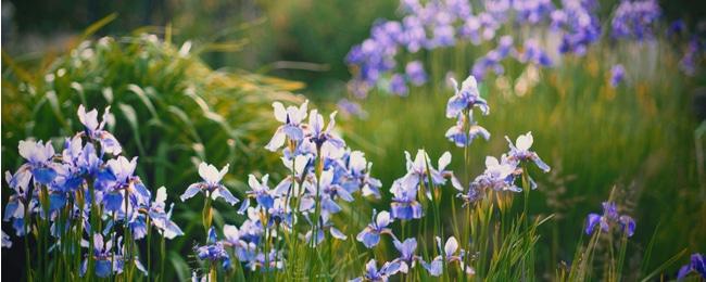 Siberian Iris Care Guide