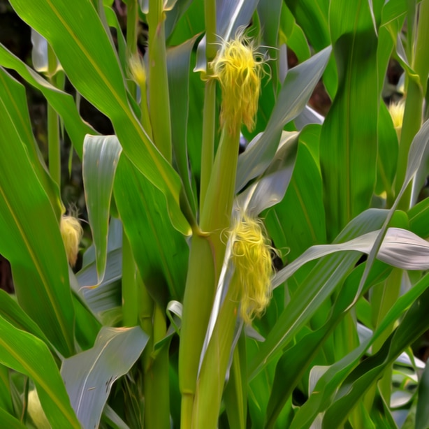 Silk will appear on the ears to catch any pollen that falls.