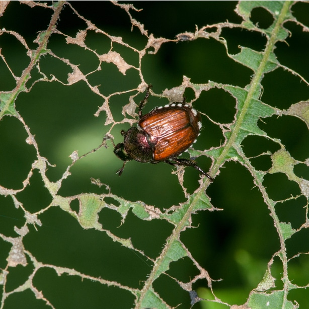 Heavy infestations can make trees look scorched or leaves will become skeletonized.