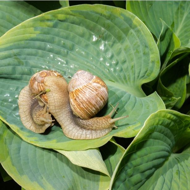 Snail resting on the foliage of a hosta leaf.