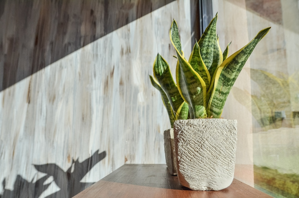 Snake plant receiving the proper amount of sun next to a window
