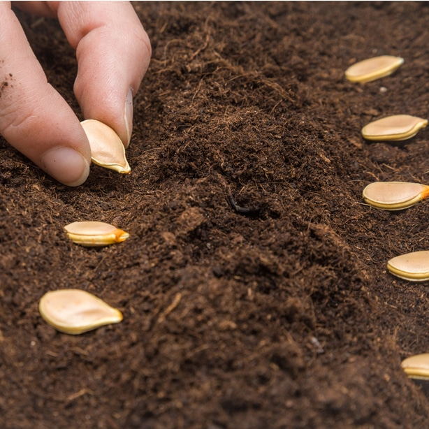 Planting seeds is an important process to growing these delicate sprouts