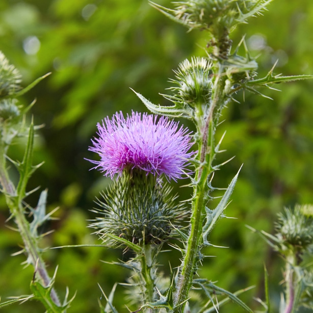 Spear thistle have pink flowers and are bad plants