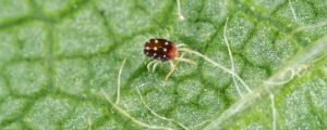 Small spider mite on a leaf, zoomed in