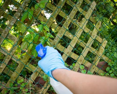Spray herbicide or vinegar to kill ivy