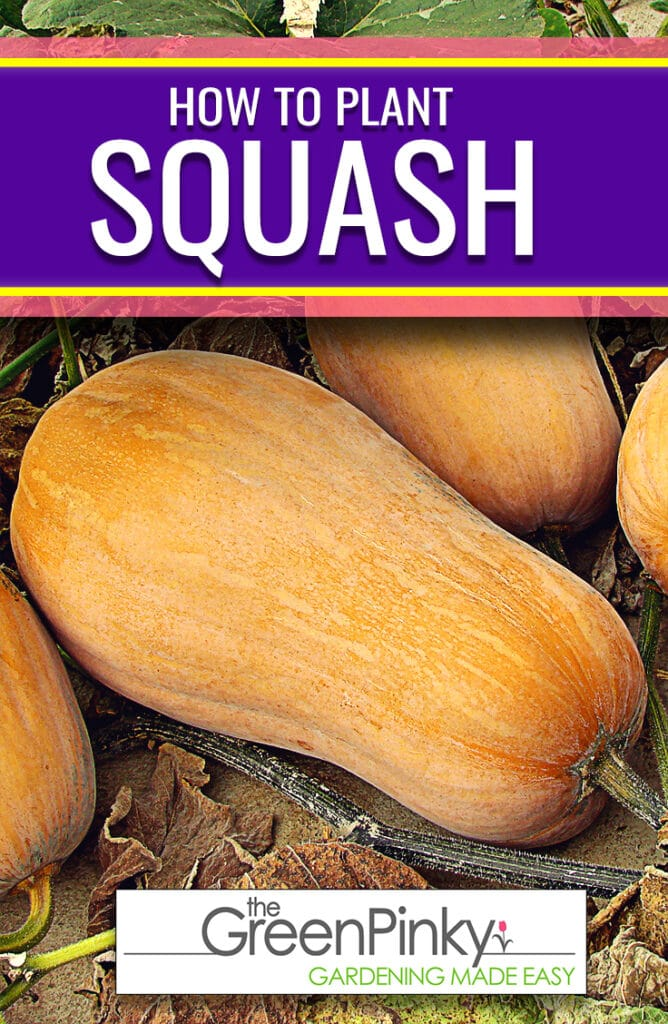 Growing squash fruit is not difficult with a proper care guide.