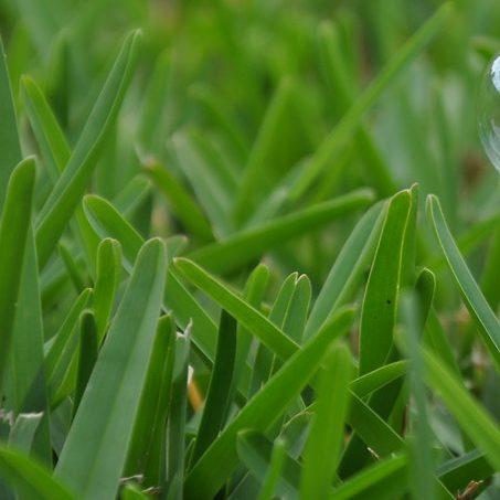 St. Augustine lawn that has healthy turf blades