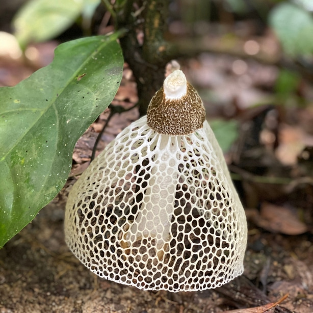 Stinkhorn mushroom can be picked and eaten.