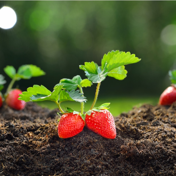Strawberry plants cant be grown between asparagus to prevent weeds